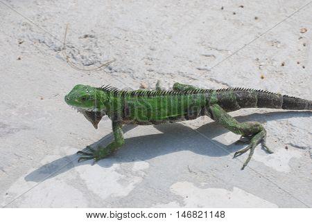 A green iguana walking across the pathway of a beach in Aruba.