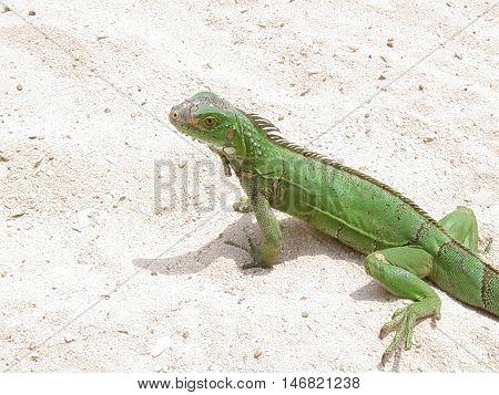 Green lizard walking on the beach in Aruba
