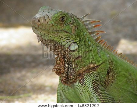 Fantastic green iguana up close and personal.