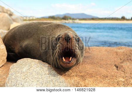 Fur seals have large eyes a pointed face with whiskers and sharp teeth. The Australian Fur Seal Arctocephalus pusillus doriferus is the largest of all the fur seals.
