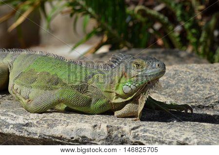 Green iguana sunning on a rock ledge.