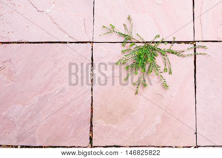 Green plant growing between pink surface concrete floor gap in beautiful shape. hope of life abstract background High-key.