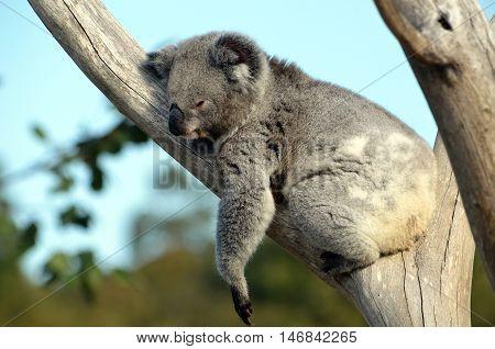 Australian Koala (Phascolarctos cinereus) sleeping in a gum tree. Australia's iconic marsupial mammal.