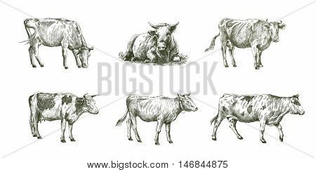 sketches of cows drawn by hand on a white background. livestock. cattle. animal grazing