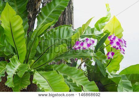 Bird's nest fern and purple orchid hanging on tree in garden Asplenium nidus