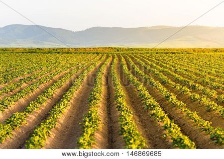Agricultural Field With Growing Potatoes At Sunset