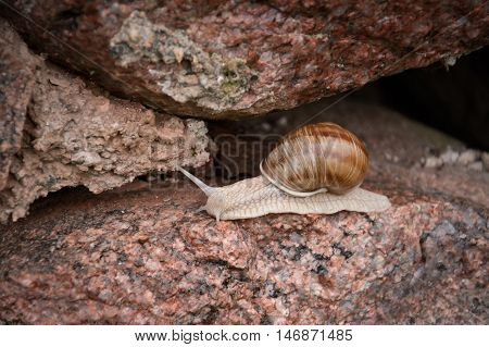 big snail on stone, nature of belarus