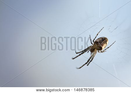 small spider (Metellina segmentata) in the net against a blue-gray background with large copy space macro shot with selected focus and narrow depth of field