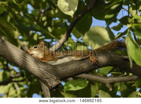 An American red squirrel (Tamiasciurus hudsonicus) laying on a branch of a hickory tree