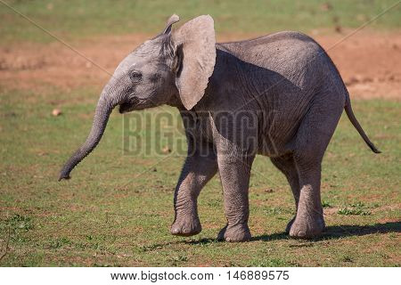 Playful baby African elephnat with wrinkly skin and long trunk