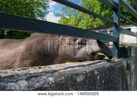 Funny friendly Brazilian tapir in the Kaliningrad Zoo. Russia.