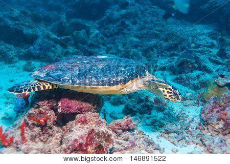 The Hawksbill Turtle (eretmochelys Imbricata) Near Corals