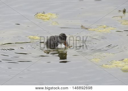 A baby moorhen on the lake in Spring