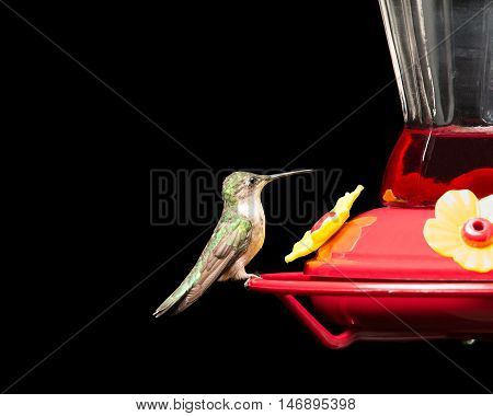 Female ruby-throated hummingbird perched at a red feeder. Vivid colors isolated on black. Close up image with significant detail.