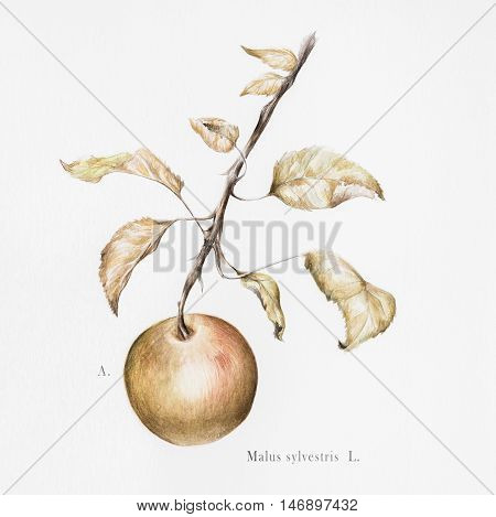 Watercolor photorealistic botanical illustration of a European crab apple (malus sylvestris)