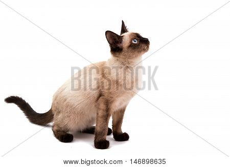 looking Siamese cat on a white background