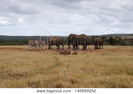 African Bush Elephant Taking Over The Water Hole