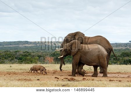 Big Brothers African Bush Elephants