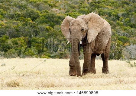 Why The African Bush Elephant