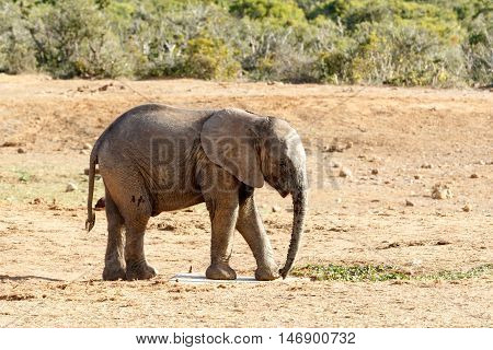 What Is This - African Bush Elephant