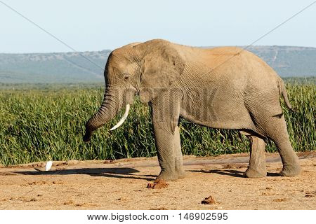 Wow Huge African Bush Elephant