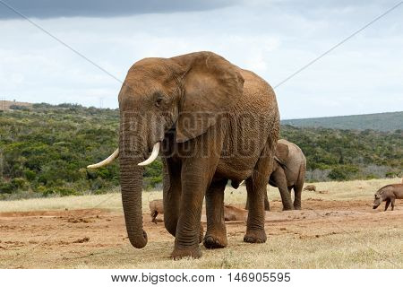 African Bush Elephant To Close