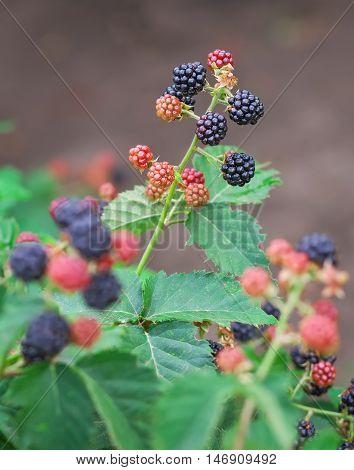 Tasty berries growing in the garden. Close-up