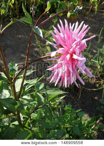 Close view of a white pink flower dahlia in the garden. Photo for backgrounds. Color photo of flowers.