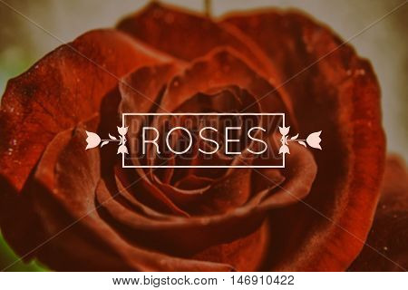 Red rose macro photo. Font used: Quicksand