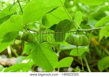 Close up of Sacha-Inchi peanut, fresh capsule seeds fruit of sacha-Inchi peanut