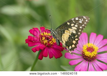 Butterfly. Butterfly on flower. Butterfly in tropical garden. Butterfly in nature.