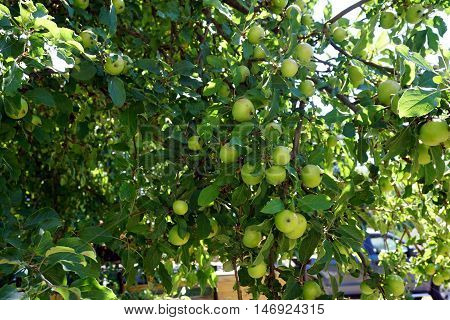 Apples ripen in a wild apple tree (Malus pumila) in Harbor Springs, Michigan during August.