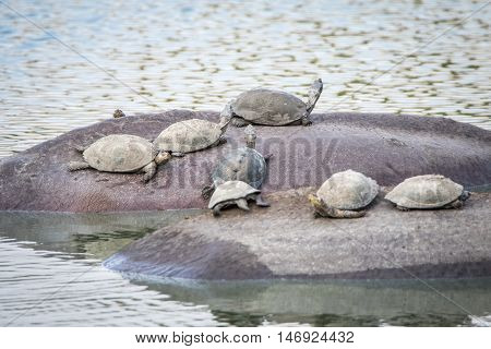 Speckled Terrapins On The Back Of Hippos.