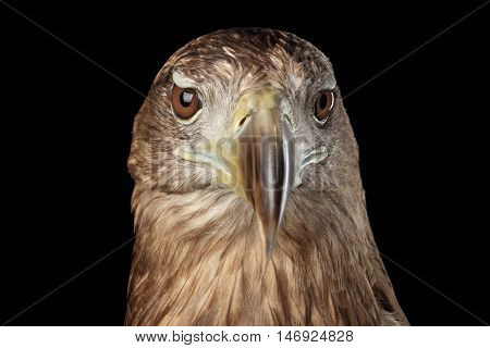Close-up Head of White-tailed eagle, front view, Birds of prey, isolated on Black background