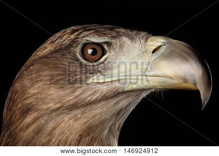 Close-up Head of White-tailed eagle, Birds of prey isolated on Black background