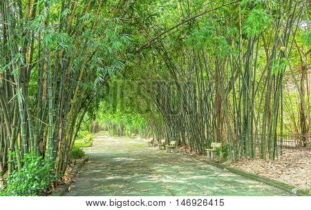 High bamboo both side bend to cover along dirt road create idyllic beauty in countryside
