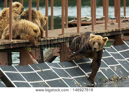 Young brown bear waiting prey on fence to account for fish. Kurile Lake in Southern Kamchatka Wildlife Refuge.