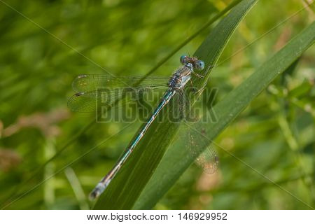 Macro of a blue and teal damselfly resting on a blade of grass.