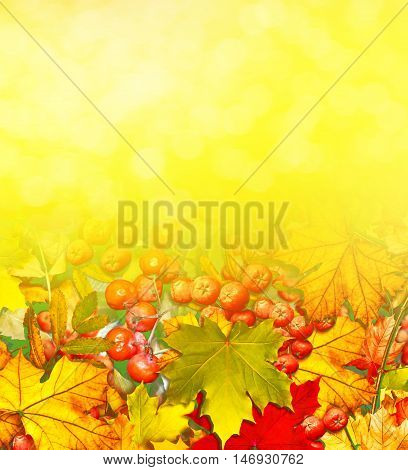 background from autumn leaves and berries rowan