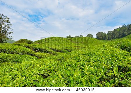 tea plantation landscape at Cameron highlands, Malaysia