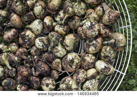 Bunch of onion bulbs drying on the metal basket overhead cropped shot