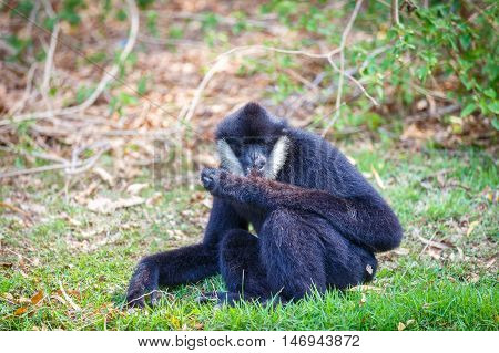 Gibbon sitting on grass in the zoo.