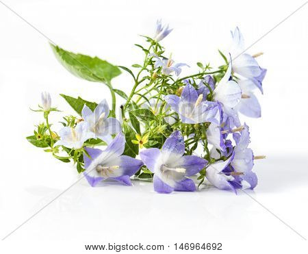 White and purple bell flower. Beautiful spring background with campanula bouquet.