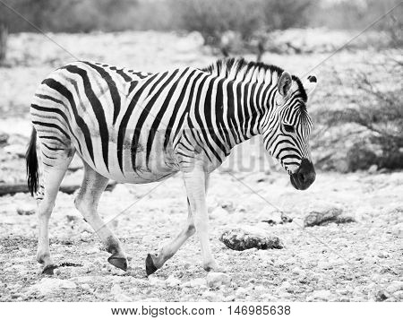 Lonesome zebra walks across dry land and looks very sad. Balck and white image.