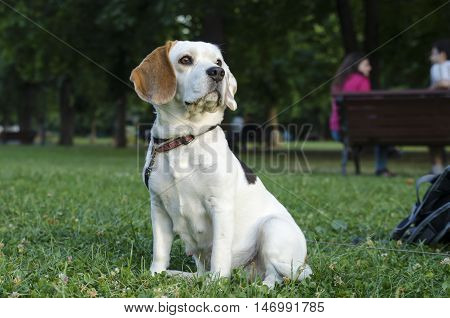 Female beagle on a lawn in a park