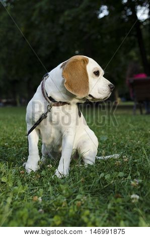 Beagle sitting in a park with leash
