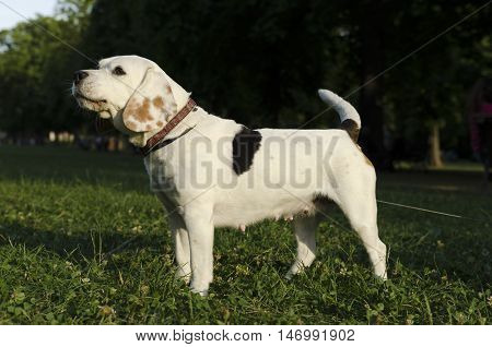 Beagle barking in a city park during the day