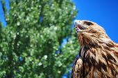Golden eagle gazing into the sky and waiting poster