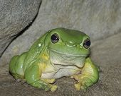 A Green Tree Frog sitting on a rock shelf. poster