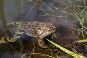 Frog on a bog in the spring poster